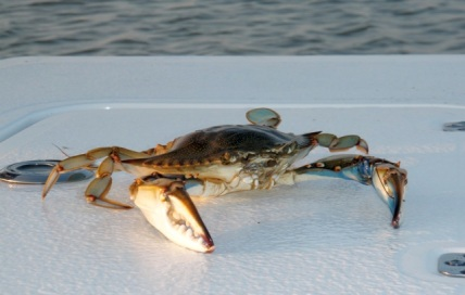 blue crab boater