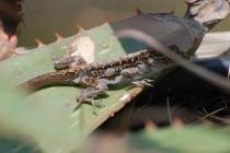 molting lizard