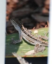 molting lizard2