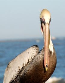 pelican-mugshot