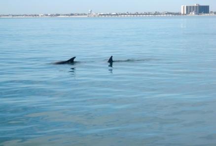 dolphin feeding near south jetty