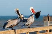 horace caldwell pier, pelicans