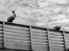 pelican pier perch