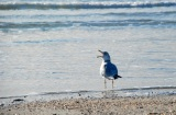 seagull, port aransas