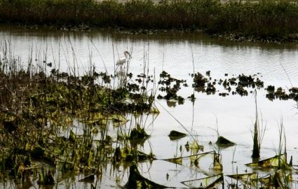 ibis strolling