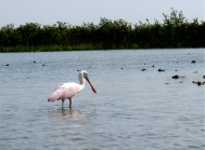 roseated spoonbill dining