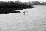 spoonbill at piper channel