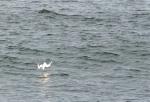 breakfast dive, seagull