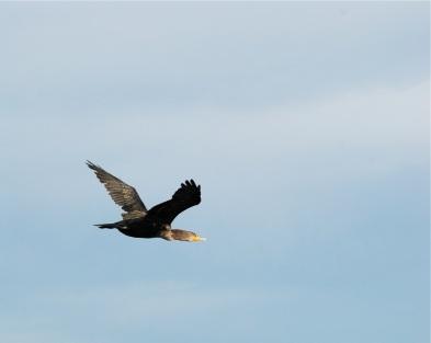 cormorant flier