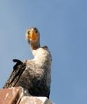 emerald eyed cormorant
