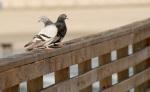 pigeon watch!