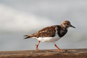shorebird bite