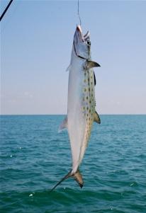 big mackrel
