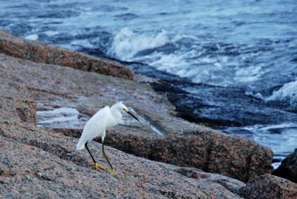 egret on rocks, jetty
