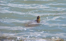 green turtle at jetties