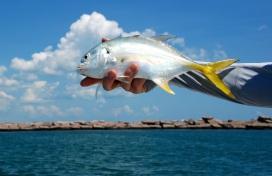 pretty jack fish