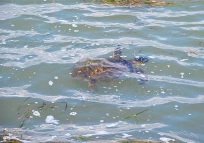sea turtles love grass