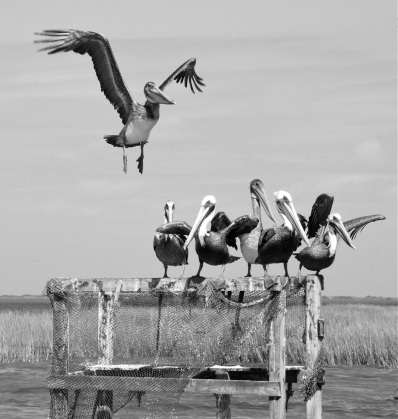 black and white brown pelicans