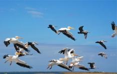 Flock a Pelicans