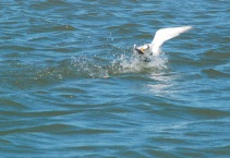 gull going for line and bait