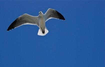 gull overhead