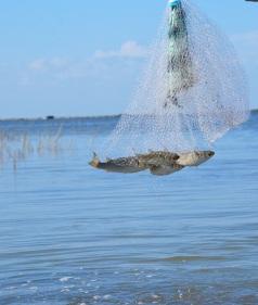 mullet oversized bait