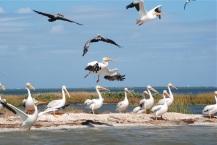 runway line up, white pelicans
