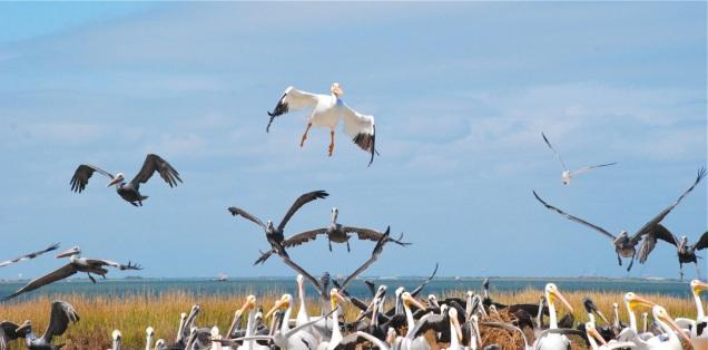 Up an way Pelicans
