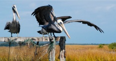 you first, brown pelican