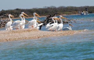 beach party, pelicans