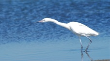 egret in the flats