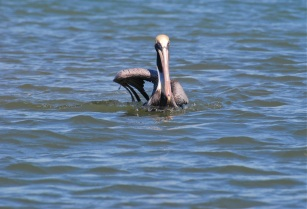 Howdy Pelican