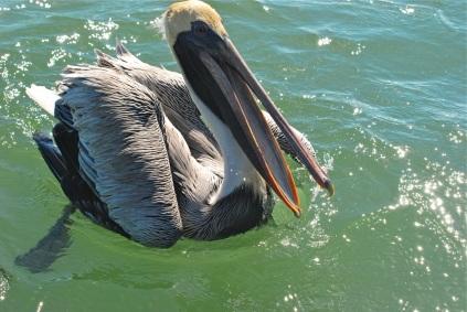 oh yeah, brown pelican
