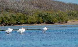 pelican chill