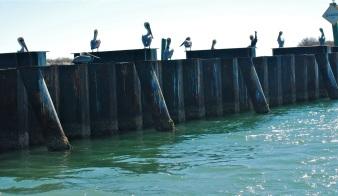 pelicans on watch
