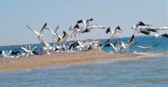 quiet flight, white pelicans
