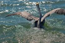 see ya pelican