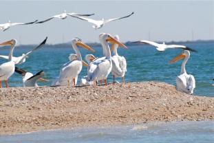white pelican beachy roost