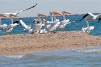 white pelicans, skittish